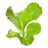 Fresh green lettuce salad Stock Photo