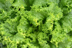 Fresh Green Lettuce or Salad Leaves. As Background Stock Images