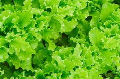 Fresh green Lettuce salad leaves Royalty Free Stock Photography