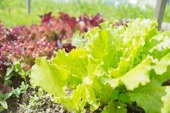 Fresh green lettuce salad leaves closeup Royalty Free Stock Photos