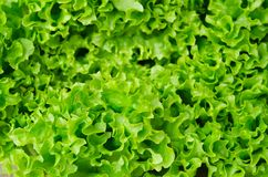 Fresh green lettuce salad leaves closeup Royalty Free Stock Photography