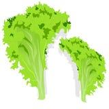 Fresh green lettuce salad leaves. Isolated. Vector illustration on white background vector illustration