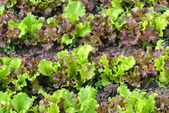 Fresh Green Lettuce or Salad Leaves at Summer Day Stock Images