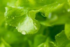 Fresh green lettuce salad Royalty Free Stock Photography
