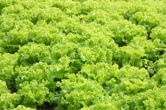 Fresh green lettuce Stock Image