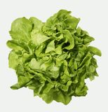 FRESH GREEN LETTUCE WITH WATER DROPS ON LEAVES. ISOLATED ON WHITE BACKGROUND Stock Images