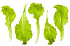 Fresh and green lettuce Royalty Free Stock Images