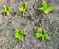 Fresh green lettuces growing in soil Royalty Free Stock Photo