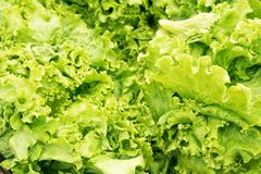 Fresh green letucce stock photo