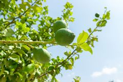 Fresh green lime fruits on branch at green tree against blue sky. close up.  royalty free stock photo