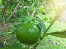 Fresh green lime or lemon on tree. Fresh green lime or lemon on tree on nature background stock image