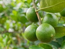 Fresh green lime, main ingredient in asian dish or food, on tree branch. Over blurred farm and garden background stock photography
