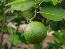 Fresh green lime, main ingredient in asian dish or food, on tree branch. Over blurred farm and garden background stock photo
