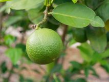 Fresh green lime, main ingredient in asian dish or food, on tree branch. Over blurred farm and garden background stock photos