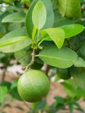 Fresh green lime, main ingredient in asian dish or food, on tree branch. Over blurred farm and garden background royalty free stock photography