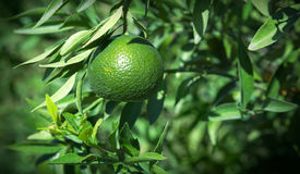 Fresh green lime on tree Royalty Free Stock Photography