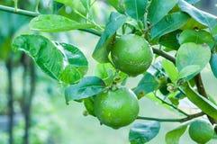 Fresh green lime on tree Stock Photos