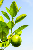 Fresh green limes on garden tree. Royalty Free Stock Photography