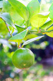 Fresh green limes on garden tree. Royalty Free Stock Image