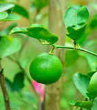 Fresh green limes Royalty Free Stock Photography
