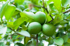 Fresh green limes raw lemon hanging on tree in garden Royalty Free Stock Photography