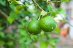 Fresh green limes raw lemon hanging on tree in garden Stock Photos