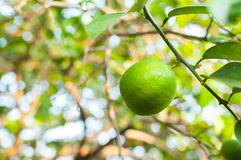 Fresh green limes raw lemon hanging on tree in garden Royalty Free Stock Images