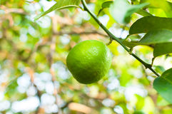 Fresh green limes raw lemon hanging on tree in garden Stock Image