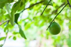 Fresh green limes raw lemon hanging on tree in garden Stock Photography