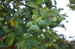 Fresh green limes on tree Royalty Free Stock Images