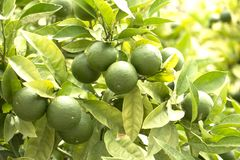 Fresh green limes on the tree Royalty Free Stock Images