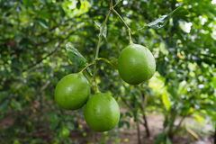 Fresh green limes on tree in the tropical garden Stock Photos