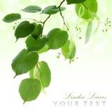 Fresh green linden leaves border Stock Images