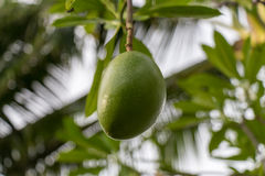 Fresh green mango fruit plant outside in summer Royalty Free Stock Photo