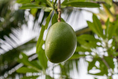 Fresh green mango fruit plant outside in summer Royalty Free Stock Images