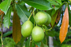 Fresh green mango fruit plant outside in summer Stock Photo