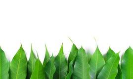 Fresh green mango leaf. On white background royalty free stock image