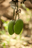 Fresh green mango on tree Stock Photography