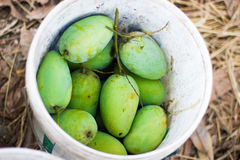 Fresh green mango in white tank. At mango farm Stock Image