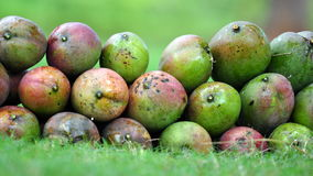 Fresh Green Mangoes!. Fresh Mangoes pile in a field Stock Photos