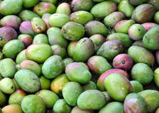 Fresh Green Mangoes!. Fresh Mangoes pile in a field Stock Images