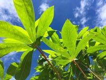Fresh green Manihot esculenta leaves Royalty Free Stock Photos