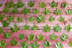 Fresh green maple leaf background pattern. Arranged in rows on rustic wooden boards conceptual of spring or Canada Stock Photos