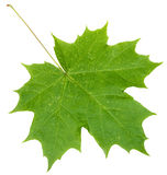 Fresh green maple leaf isolated on white Stock Photo