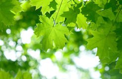 Fresh green maple leaves Stock Image