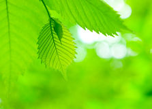Fresh green maple leaves Stock Images