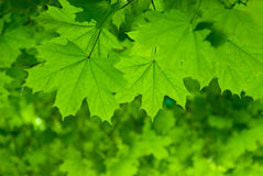Fresh green maple leaves Royalty Free Stock Image