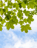 Fresh green maple leaves above blue sky Stock Photos