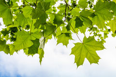 Fresh green maple leaves above sky Stock Photography