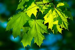 Fresh green maple leaves illuminated by sunlight Royalty Free Stock Photos